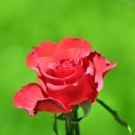 Flores015