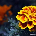 Flores016