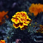 Flores017