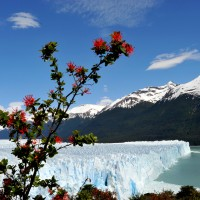 Perito Moreno com planta El Calafate