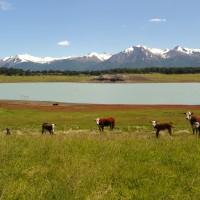 Criação de gado da Estância