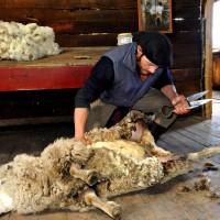 Tosquia de ovelha na Estância